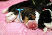 Newborn beagle puppies — Stock Photo
