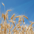 Stock Photo: Wheat on a field
