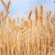 Wheat on a field — Stock Photo #10565373