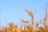 Wheat on a field — Stock Photo