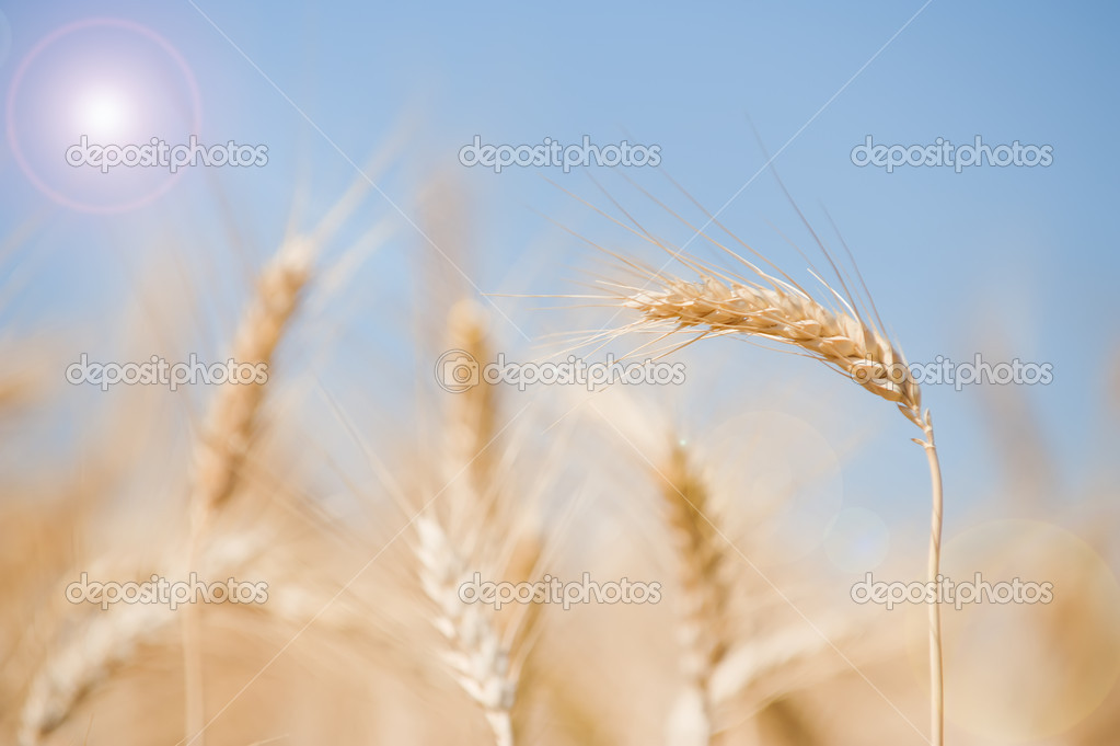 Wheat on a field with sun beam — Stock Photo #10566170