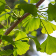 Branch of Gingko biloba with leaves — Foto Stock