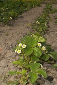 Strawberry bush blooming — Stock Photo