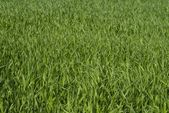 Corn, field — Stock Photo