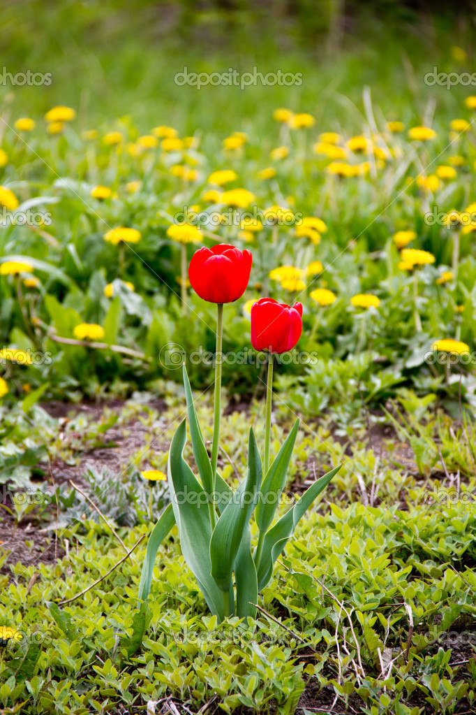 For red tulip in a field of dandelions — Stock Photo #10703914