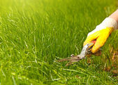 Grass lawn trimming, garden shear and yellow glove — 图库照片