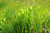 Fresh spring green grass — Stockfoto