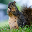Stock Photo: Open Mouthed Squirrel