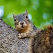 Attentive Squirrel — Foto Stock