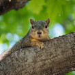 Friendly Squirrel Resting — Stock Photo