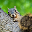 Squirrel Resting — Stock Photo