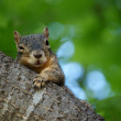 Foto de Stock  : Wary Squirrel
