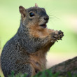 Stock Photo: Squirrel Eating Bread