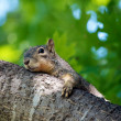 Squirrel Outstretched — Stock Photo