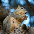 Stock Photo: Squirrel Snacking