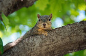 Vriendelijke eekhoorn rusten — Stockfoto
