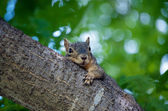 Tired Squirrel — Stock Photo