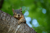 Wary Squirrel — Stock Photo