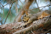 Sleepy Squirrel — Stock Photo