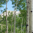 Quaking Aspens — Stock Photo