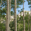 Quaking Aspens in Summer — Stock Photo