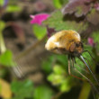 Macro ofLarge Bee Fly on the flower — Stock Photo