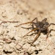 Stock Photo: Cute little EuropeLycosor wolf spider