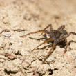 Cute little European Lycosa or wolf spider — Stock Photo