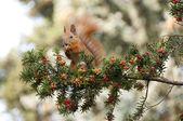 écureuil dans l'if — Photo