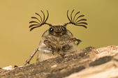 Melolontha papposa, spang beetle — Stock Photo