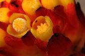 Cytinus hypocistis, jaune cytinus — Photo