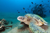 Green turtle (chelonia mydas) in the Red Sea. — ストック写真