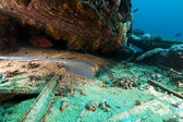 Bluespotted stingray at the Yolanda wreck in the Red Sea. — Stock Photo