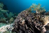 Elephant ear coral (mycedium elephantotus) in the Red Sea. — Stock Photo