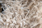Feathery xenid (authelia glauca) in the Red Sea. — Foto Stock