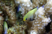 Red Sea dascyllus (dascyllus marginatus). — Stock Photo