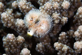 Árvore de Natal worm (spirobranchus giganteus) no mar vermelho. — Fotografia Stock