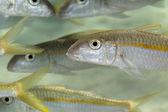 Yellowfin goatfish (mulloidichthys vanicolenses) in the Red Sea. — Photo