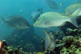 Spangled emperor (lethrinus nebulosus) in the Red Sea. — Stock Photo