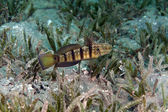 Tailspot goby (amblygobius albimaculatus) in the Red Sea. — Stockfoto