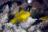 Citron coral goby (gobiodon citrinus) in the Red Sea. — Stock Photo