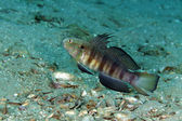 Butterfly goby (amblygobius albimaculatus) in the Red Sea. — Stock Photo