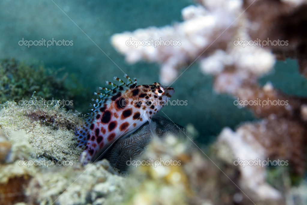 Pixie hawkfish in the Red Sea. — Stock Photo #10694969