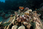 Scorpionfish (scorpaenopsis oxycephala) in the Red Sea. — Foto Stock