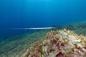 Smooth cornetfish (fistularia commersonii) in the Red Sea. — Stock Photo