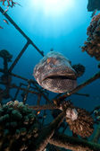 Malabar grouper (epinrphelus malabaricus) in the Red Sea. — Foto Stock
