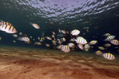 Sergeantfish and tropical reef in the Red Sea. — Stock Photo
