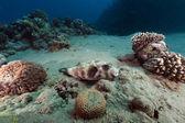 Globo enmascarado y arrecifes tropicales en el mar rojo — Foto de Stock