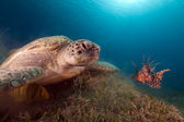 Green turtle and buddy Lionfish in the Red Sea. — Stock Photo
