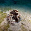 Giant clam (tridacnmaxima) in Red Sea. — Stock Photo #10720033